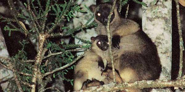 Lumholtz's Tree–kangaroos